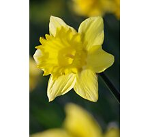 Daffodil 3 Photographic Print