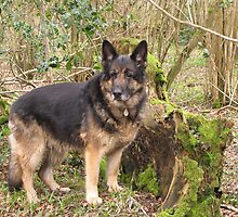 German Shepherd by JUDI2008