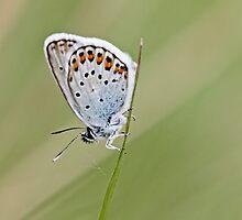 Eros Blue, Polyommatus eros by pogomcl
