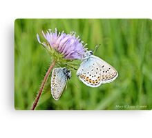 Pair of Silver-studded Blue, Plebejus argus Canvas Print