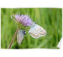 Pair of Silver-studded Blue, Plebejus argus Poster
