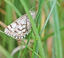 Ematurga atomaria, Common Heath hidden in grass by pogomcl