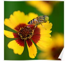 Hoverfly and Love for Colors Poster