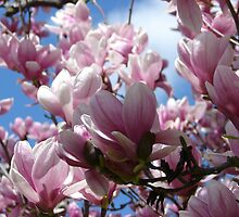 Saucer Magnolia Spring Blossoms - Hot Springs National Park, Arkansas by Lee Hiller-London