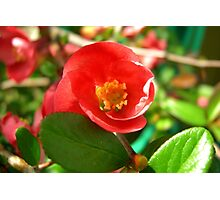 Flowering Quince II Photographic Print