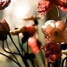 poppies awakening by narelle sartain