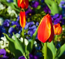 Red Tulips with purple and white flowers by loki1982