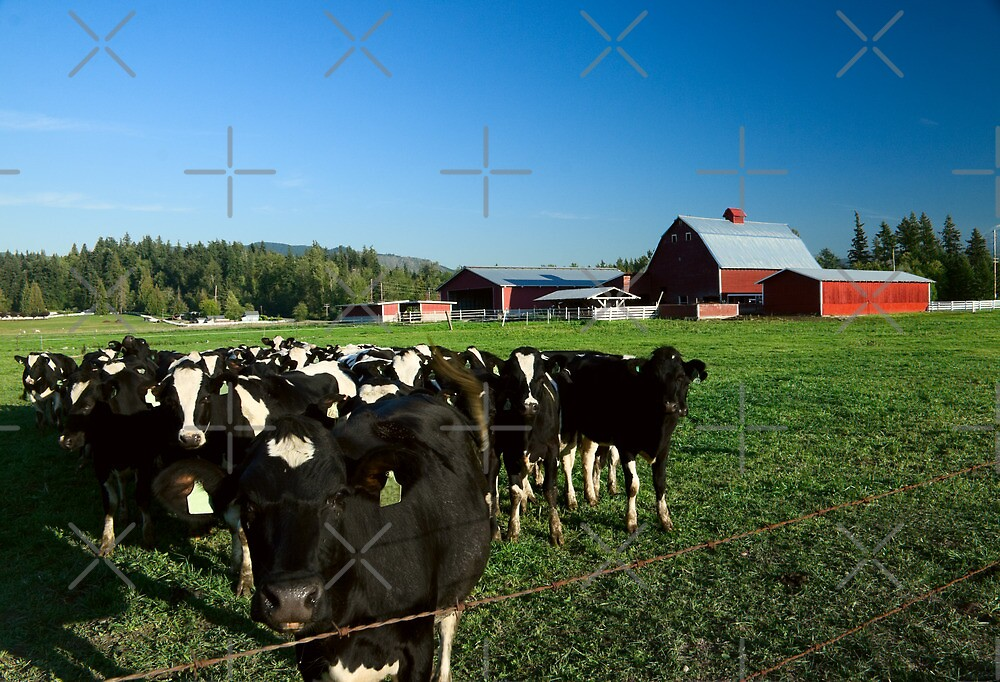 Dairy Cattle and Red Barn by Stacey Lynn Payne