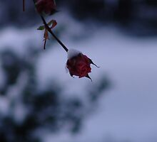 a rose in winter like a candle in the wind by Elena Arzani