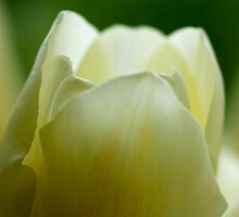yellow tulip by Annalisa Bruno