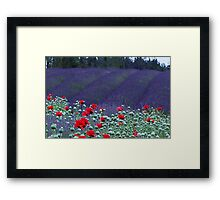 Poppies in the Lavender fields Framed Print
