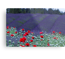 Poppies in the Lavender fields Metal Print