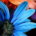 Blue & Orange Daisies by Gretchen Dunham