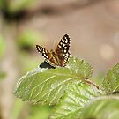 Speckled Wood Butterfly by shane22