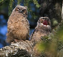 Owlet Siesta by Martin Smart
