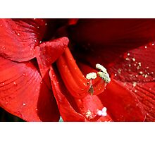 Amaryllis pistils and stamens Photographic Print