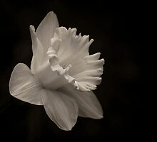 Daffodil for the Departed by eyeofgotham