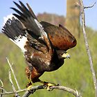 &quot;I&#x27;m Free&quot; Harris Hawk by Sherry Pundt