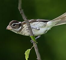Rose Breasted Grosbeak Female by Gary Fairhead