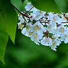 Catalpa bloom by Laurie Minor