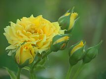 The yellow rose by Heather Thorsen