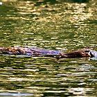 Platypus at surface of creek by Johan Larson