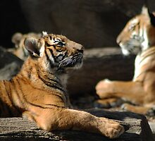 Malayan Tigers by Kathy Newton