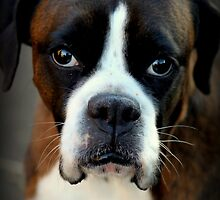 Remembering Arwen - Boxer Dogs Series by Evita