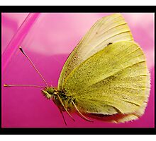 adult cabbage white/yellow butterfly Photographic Print