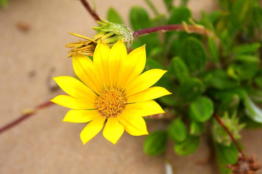 Beach daisy by Jennifer Saville