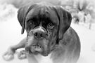 Contemplating My New Years Resolution ~ Boxer Dogs Series by Evita