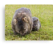 wombats Canvas Print