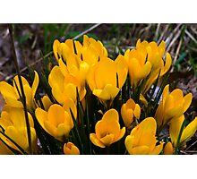 Yellow Crocus Photographic Print