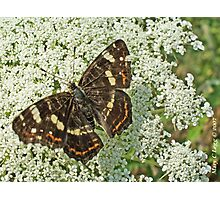 Map butterfly, Araschnia levana Photographic Print