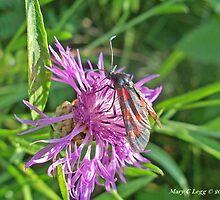 Five-Spot Burnet, Zygaena trifolii by pogomcl