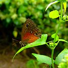 Saona Ringlet Butterfly by Robert Abraham