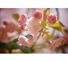 Cherry Blossoms from Queens Botanical Garden Photographic Print