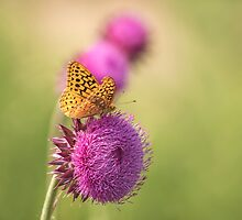 The Great Spangled Fritillary by Thomas Young