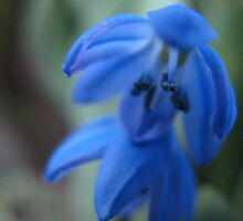 Indigo IndieBlue Flower by MarianBendeth