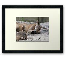 Kangaroos Napping Framed Print