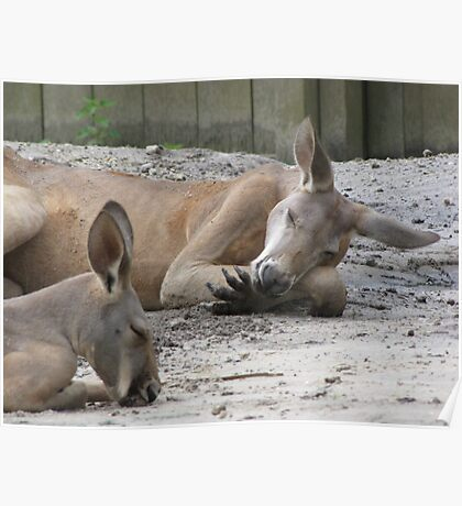 Kangaroos Napping Poster