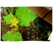 Cucumber Flower Poster