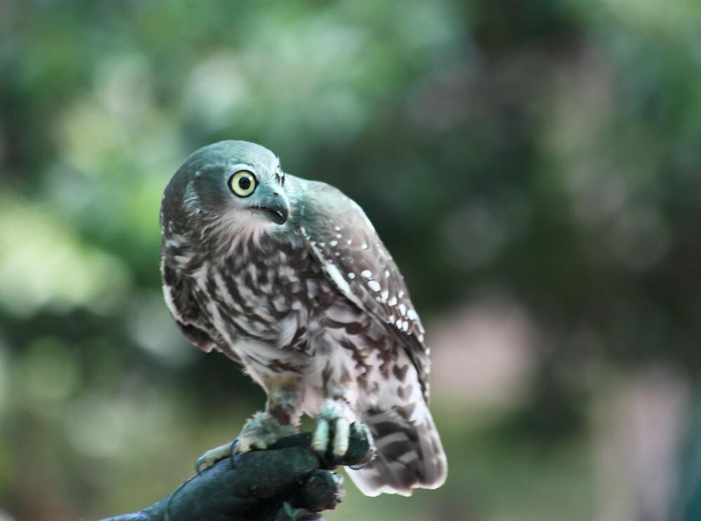 The 'Screaming Woman' Owl by byronbackyard