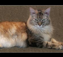 Catisfaction - 10month old Maine Coon Kitten - Jasper by Moonlake