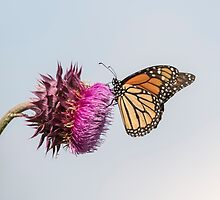 Monarch On Thistle 2015-1 by Thomas Young