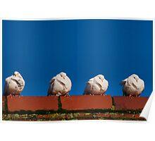 Four Fluffy White Doves  Poster