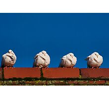 Four Fluffy White Doves  Photographic Print