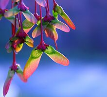 Red Maple Helicopters - Springtime by moonwillow