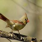 Cardinal Female by gregsmith