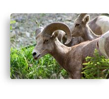 Rocky Mountain Bighorn Sheep  Canvas Print